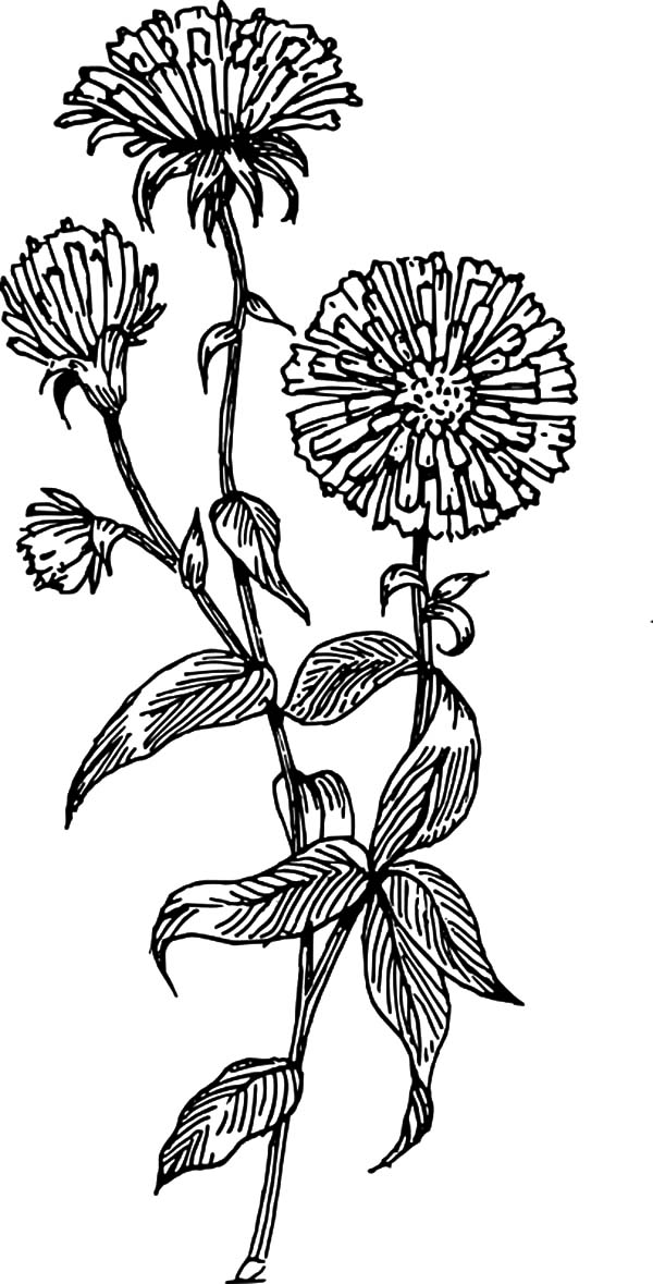 Aster Flower, : Aster Flower in Blossom Coloring Pages