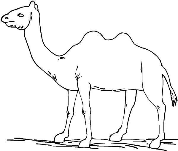 Bactria Camel, : Bactria Camel Coloring Pages for Kids