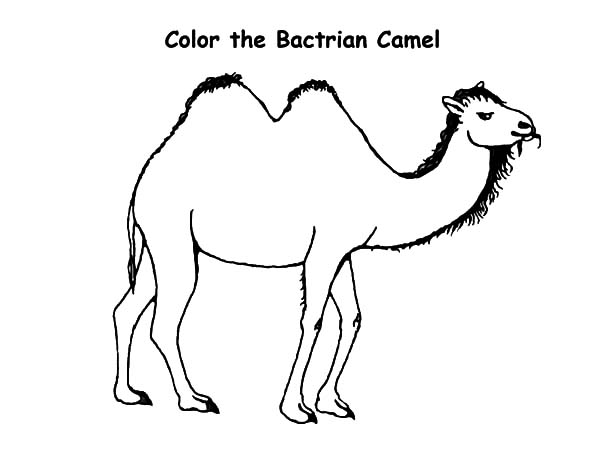 Bactria Camel, : Bactria Camel Coloring Pages