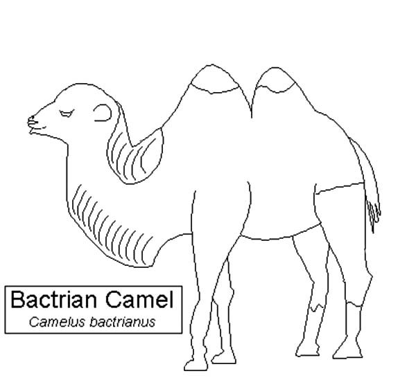 Bactria Camel, : Bactria Camel Species Coloring Pages