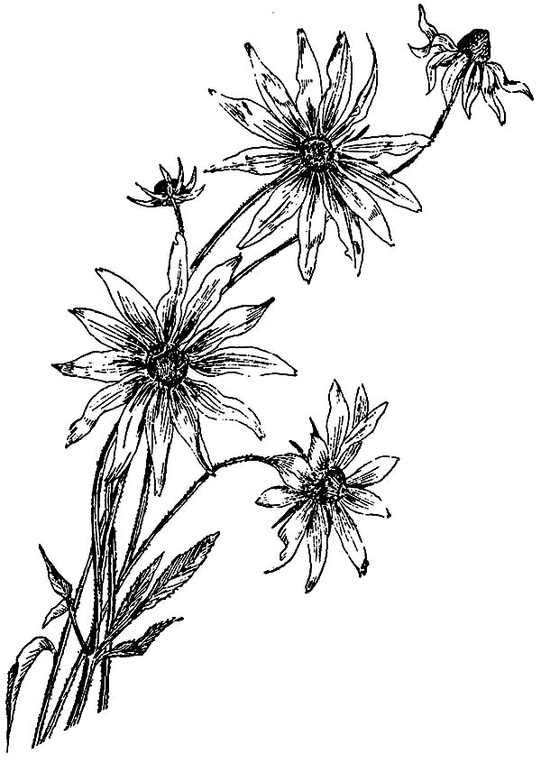 Aster Flower, : Beautiful Aster Flower Coloring Pages