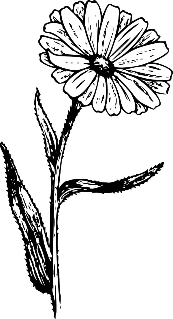 Aster Flower, : Calendula Aster Flower Coloring Pages