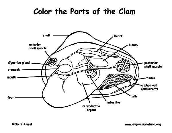 Anatomi, : Clam Anatomi Coloring Pages
