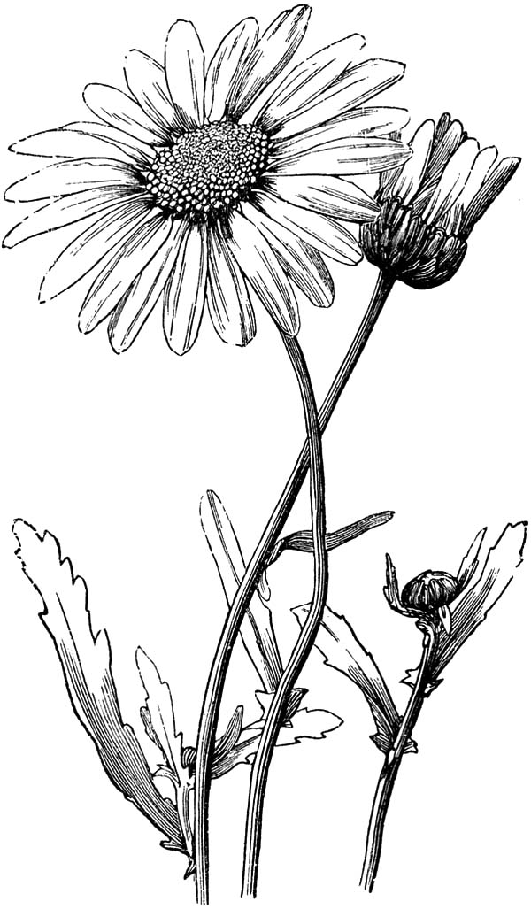 Aster Flower, : Decorate Your House with Aster Flower Coloring Pages