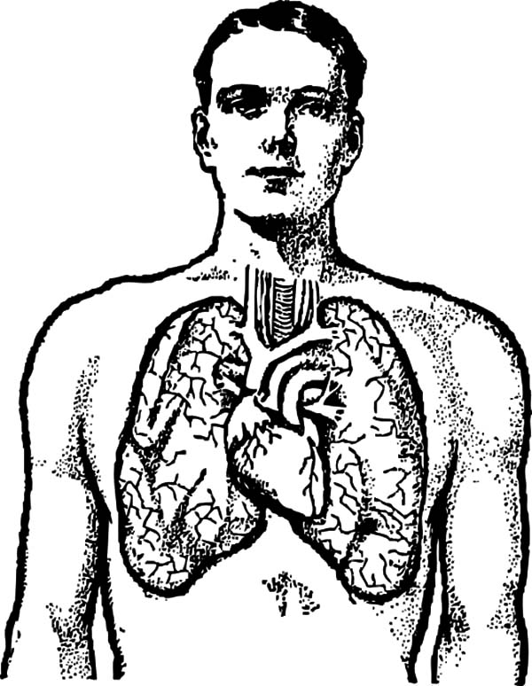 Anatomi, : Diagram of a Male Chest Organs Anatomi Coloring Pages