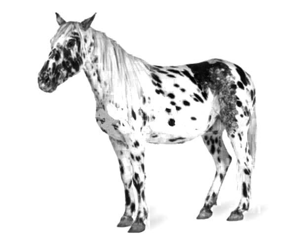 Appalooshorse, : Drawing Appalooshorse Coloring Pages