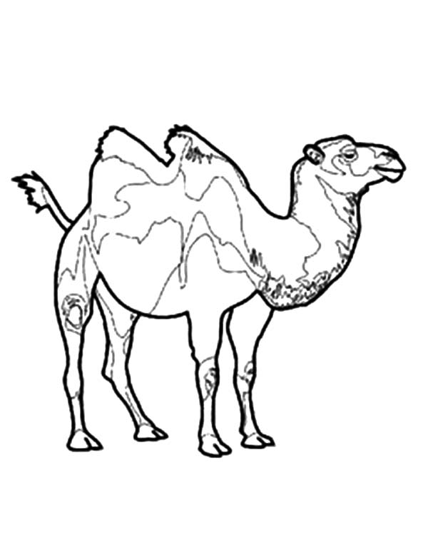 Bactria Camel, : Endangered Bactria Camel Coloring Pages