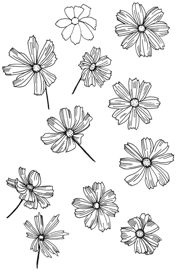 Aster Flower, : How to Draw Aster Flower Coloring Pages