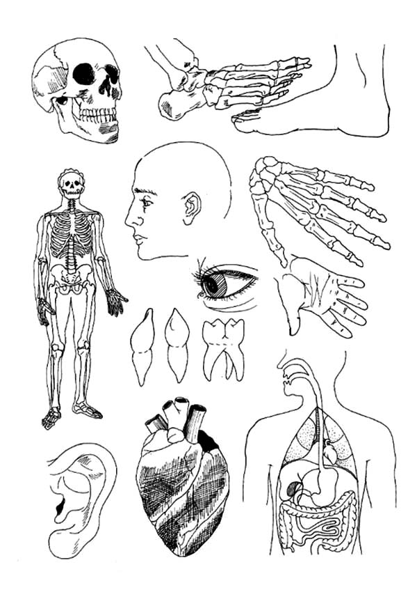 Anatomi, : Human Body Anatomi Coloring Pages