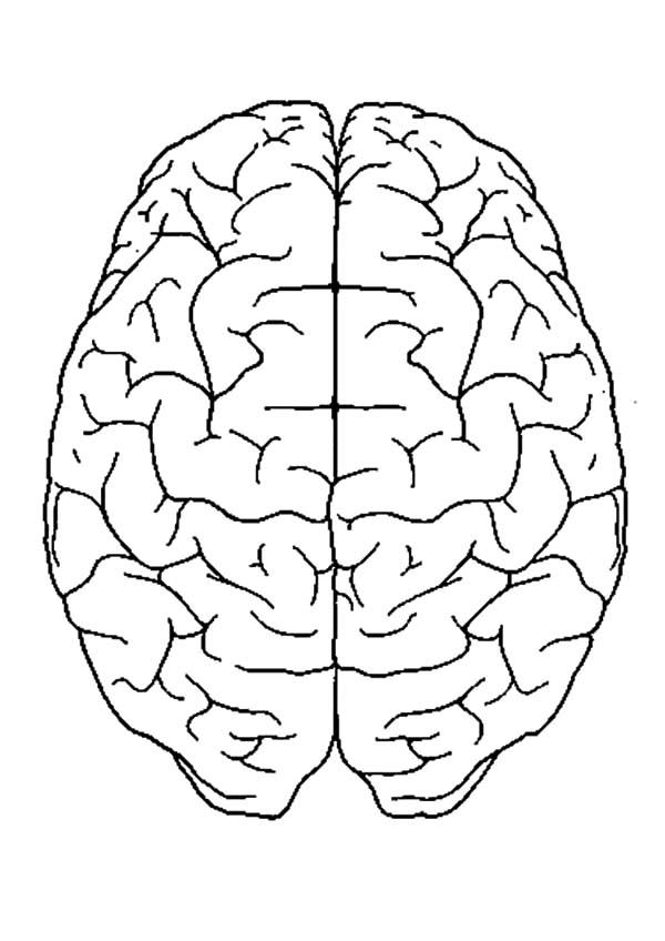 Anatomi, : Human Brain Anatomi Coloring Pages