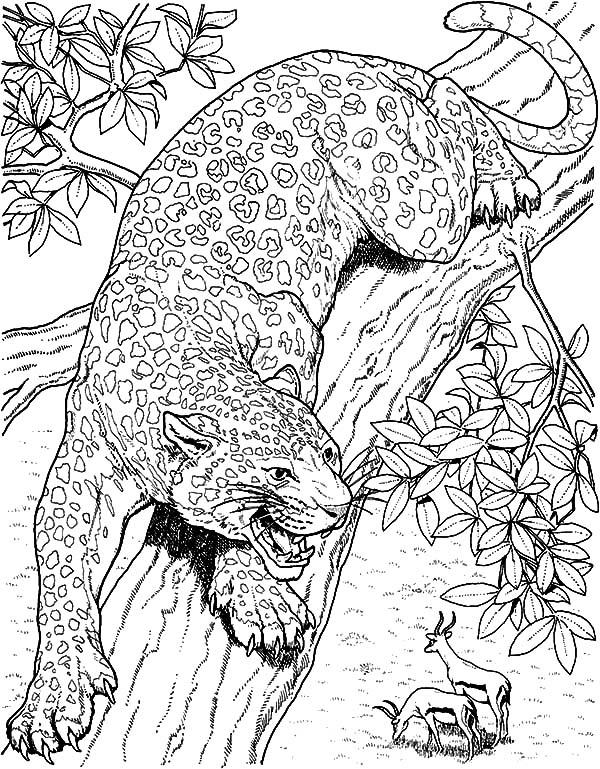 Jaguar, : Jaguar Eyeing on Mule Deer Coloring Pages