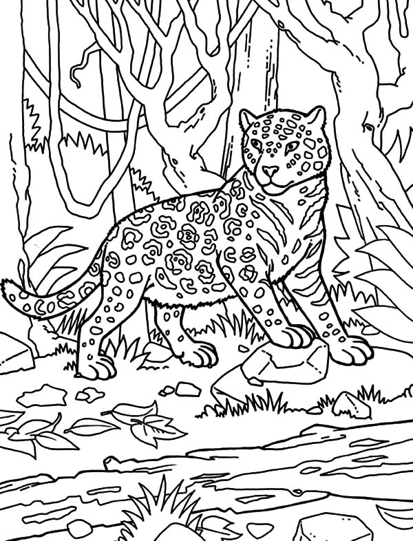 Jaguar, : Jaguar Looking Around Coloring Pages