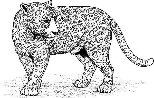 Jaguar, : Jaguar Picture Coloring Pages
