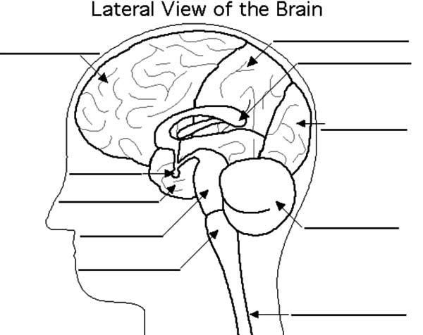 Anatomi, : Lateral View of the Brain Anatomi Coloring Pages