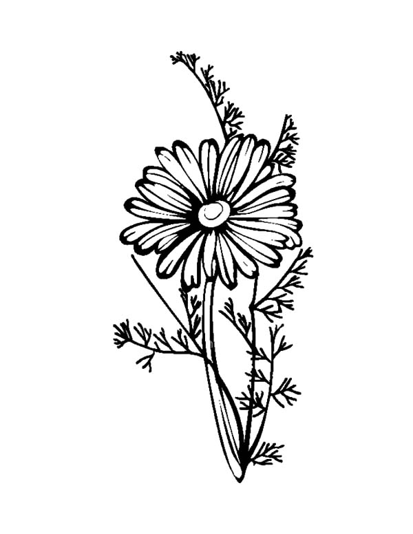 Aster Flower, : Lovely Aster Flower Coloring Pages