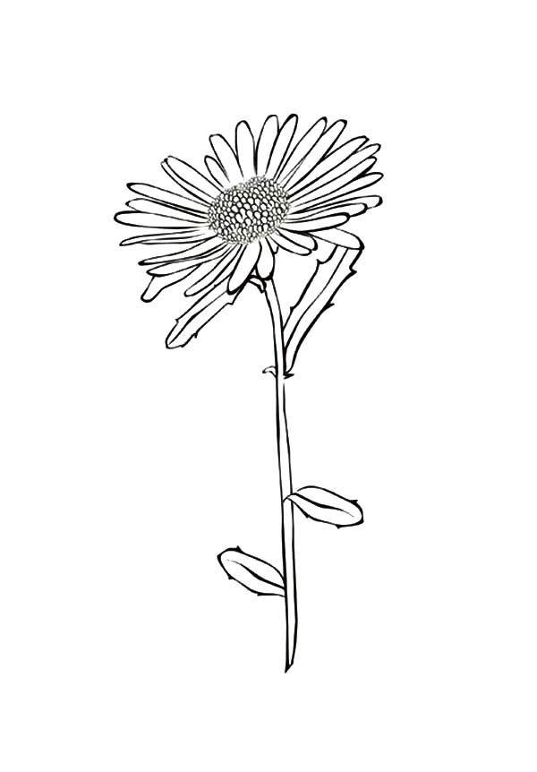 Aster Flower, : Picture of Aster Flower Coloring Pages