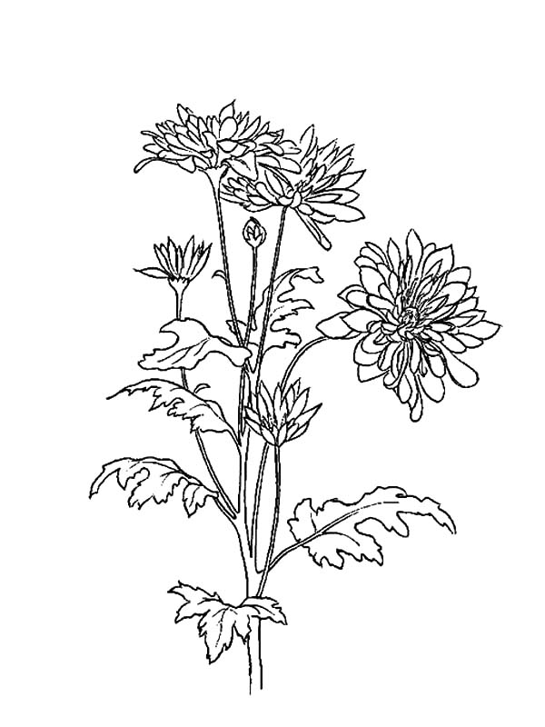 Aster Flower, : Planting Aster Flower Coloring Pages