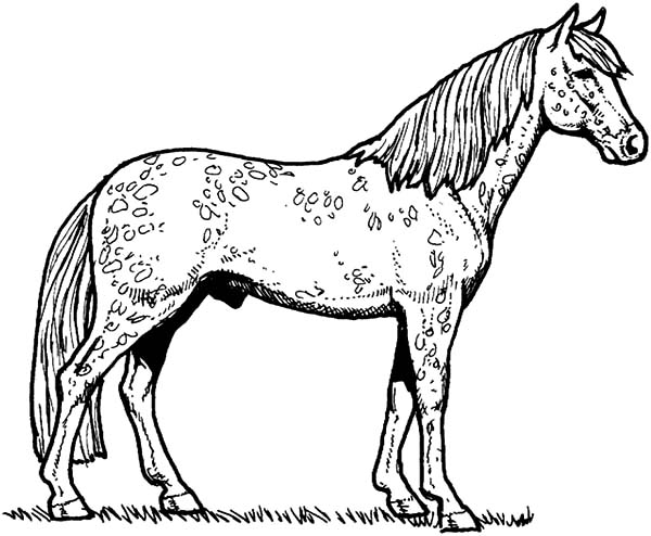 Appalooshorse, : Poland Appalooshorse Coloring Pages