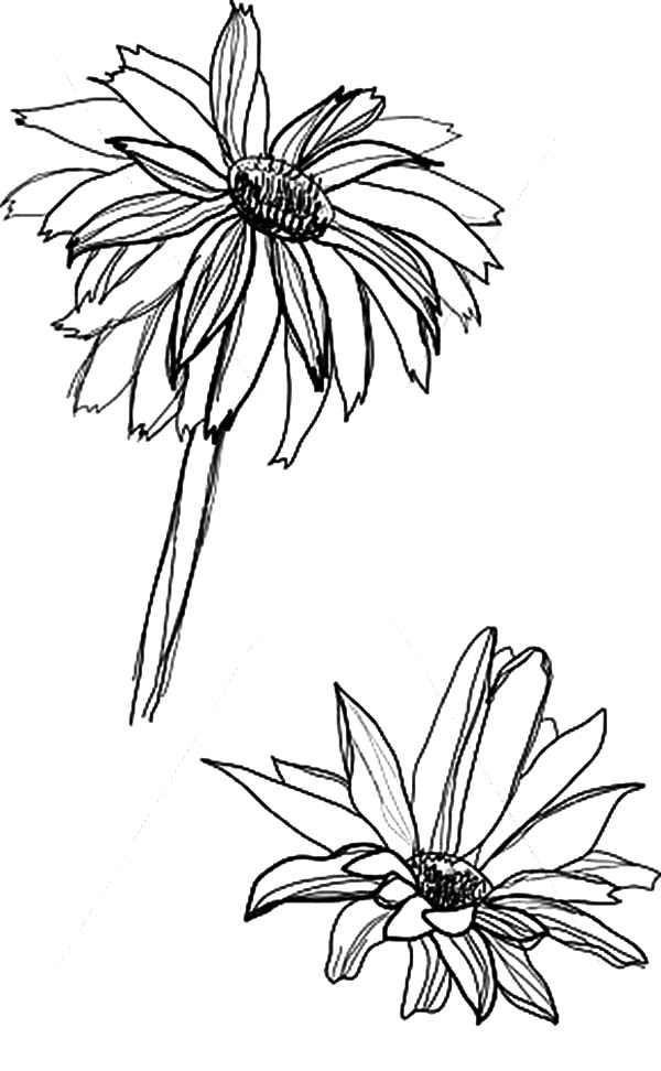 Aster Flower, : Sketch of Aster Flower Coloring Pages