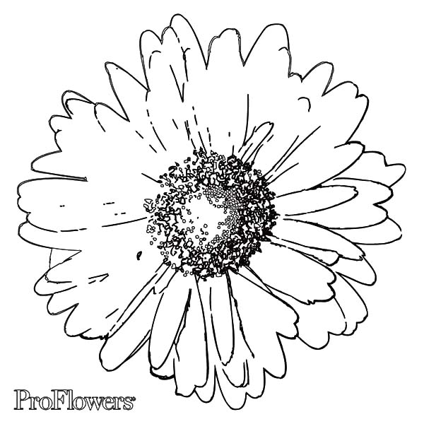 Aster Flower, : Smell Good Aster Flower Coloring Pages