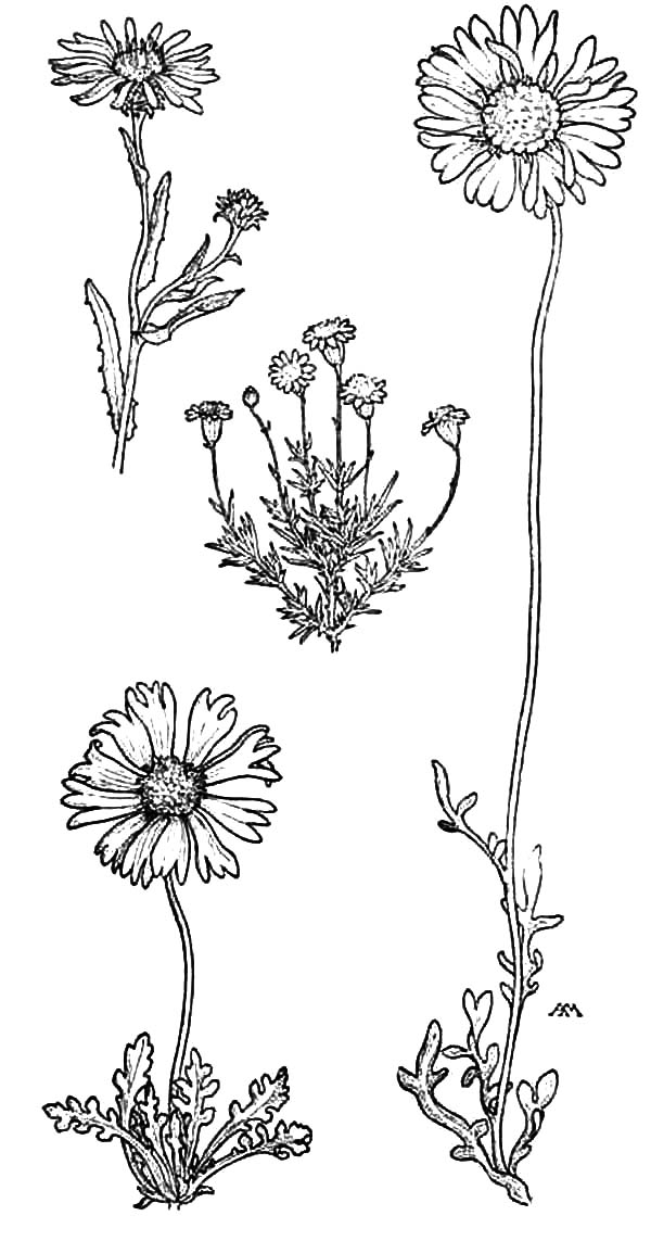 Aster Flower, : Tall Aster Machaeranthera Flower Coloring Pages