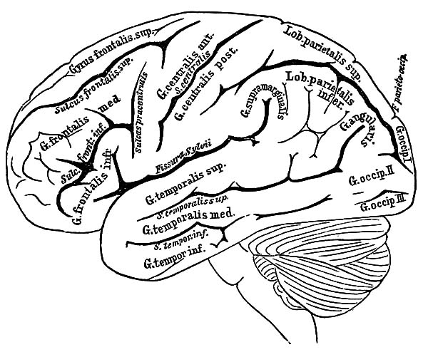 Anatomi, : The Anatomi of Human Brain Coloring Pages