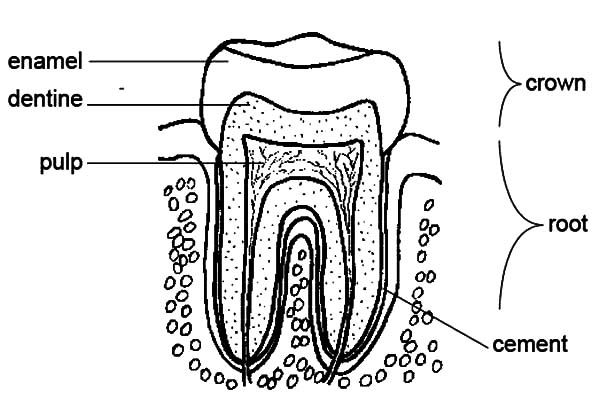 Anatomi, : Tooth Anatomi Coloring Pages