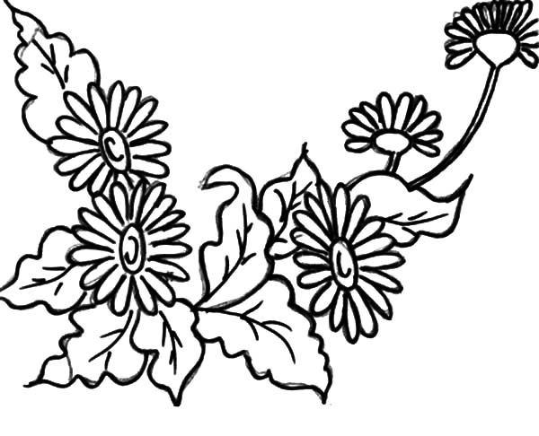 Aster Flower, : Valentine Day Aster Flower Coloring Pages