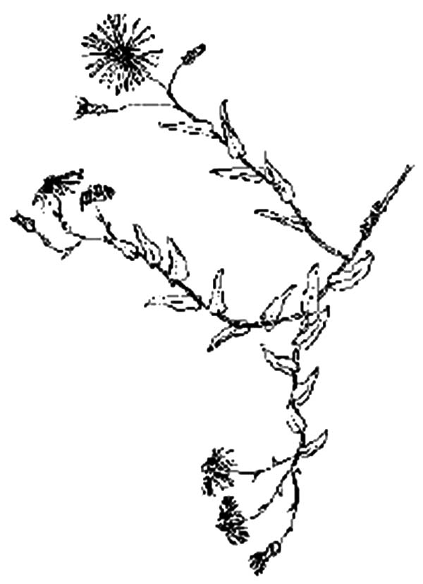 Aster Flower, : Wild Aster Flower Coloring Pages