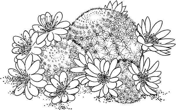 Aster Flower, : rebutia-deminuta-crown-cactus-coloring-online-super-40956-1024x640